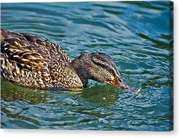 Wild Duck Canvas Print by Susan Leggett
