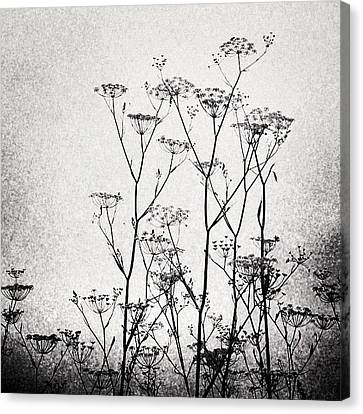 Wild Fennel #fennel Canvas Print by Denise Taylor