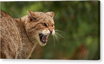 Wild Highland Cat Canvas Print by Jacqui Collett