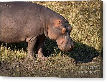 Canvas Print featuring the photograph Wild Hippopotamus by Karen Lee Ensley