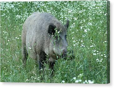 Wild Hog Between Flowers Canvas Print by Ulrich Kunst And Bettina Scheidulin