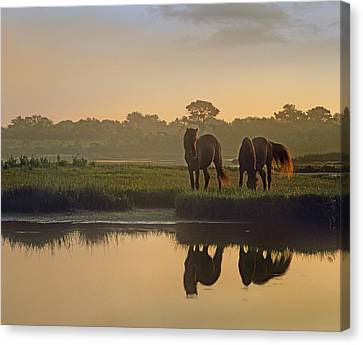 Wild Horse Pair Grazing At Assateague Canvas Print by Tim Fitzharris