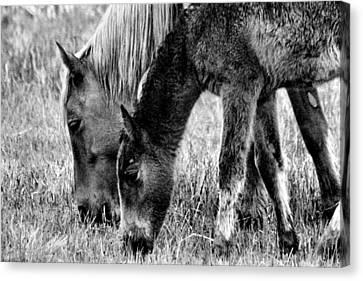 Wild Horses 1 Canvas Print by Mickey Hatt