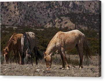 Bighorn Canyon National Recreation Area Canvas Print - Wild Horses Bighorn Canyon National Recreation Area by Benjamin Dahl