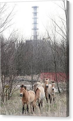 Wild Horses Near Chernobyl Canvas Print by Ria Novosti