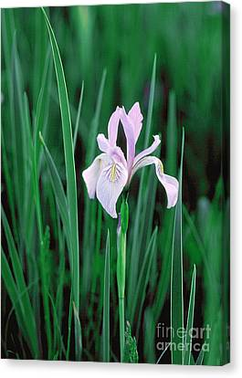 Canvas Print featuring the photograph Wild Iris by Doug Herr