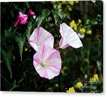 Morning Glories Canvas Print - Wild Morning Glories by Laura Iverson