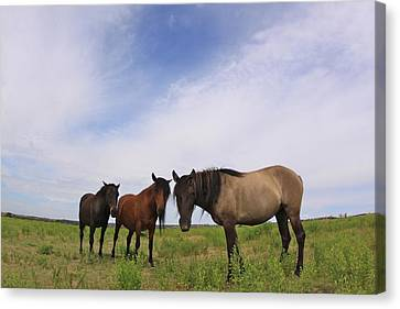Canvas Print featuring the photograph Wild Mustangs On The High Plains by Kate Purdy