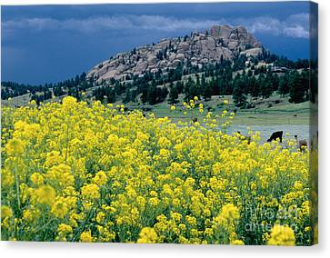 Wild Mustard Canvas Print by James Steinberg and Photo Researchers
