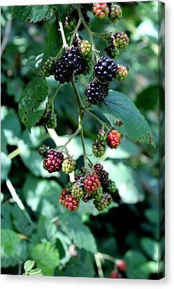 Wild Oregon Blackberries Canvas Print