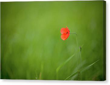 Wild Poppy Canvas Print by Peter Chadwick LRPS