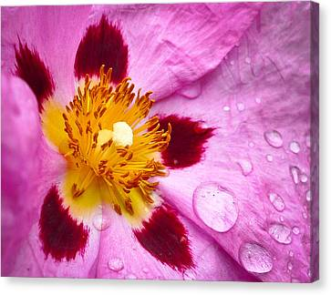 Canvas Print featuring the photograph Wild Rose After Rain by Ronda Broatch