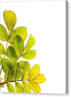 Wild Rose Leaves Macro Postcard Canvas Print