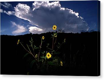 Wild Sunflower With Clouds Canvas Print by John Brink