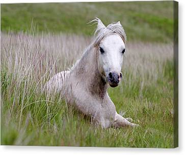 Wild Welsh Pony Canvas Print by Steve Hyde