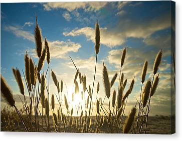Wild Wheat Growing On The Shores Canvas Print by Brooke Whatnall