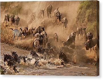 Wildebeest And Zebra Canvas Print