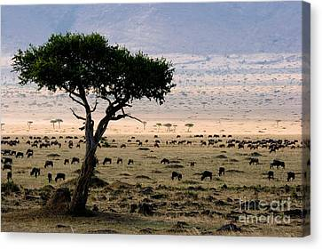 Wildebeest Connochaetes Taurinus Grazing Canvas Print by Gregory G. Dimijian, M.D.