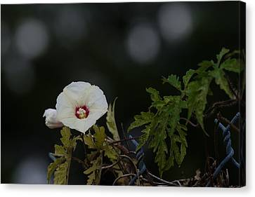 Canvas Print featuring the photograph Wildflower On Fence by Ed Gleichman