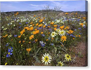 Wildflowers In South Africa Canvas Print by Bob Gibbons