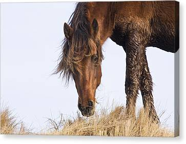 Wildhorse On The High Dunes Canvas Print