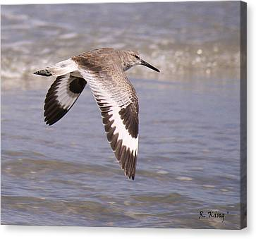 Willet In Flight Canvas Print by Roena King