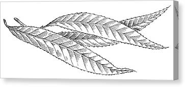 Willow Leaves, Woodcut Canvas Print by Gary Hincks