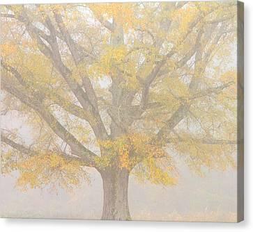 Willow Oak In Fog Canvas Print