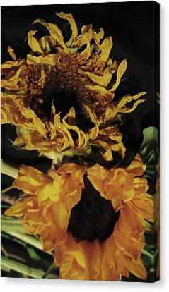 Wilted Sunflowers Canvas Print by Todd Sherlock