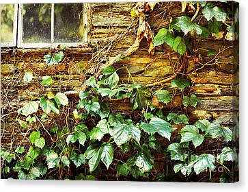Window And Grapevines Canvas Print