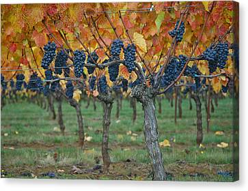 Wine Grapes - Oregon - Willamette Valley Canvas Print by Jeff Burgess