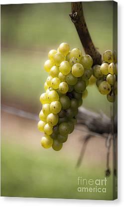 Wine Grapes Canvas Print by Leslie Leda