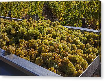 Grapevines Canvas Print - Wine Harvest by Garry Gay