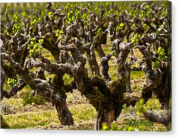 Wine On The Vine Canvas Print by Colleen Coccia