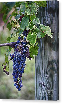Winery Harvest Canvas Print