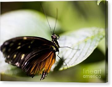 Wings Canvas Print by Leslie Leda