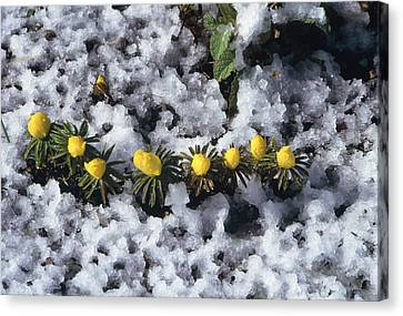 Winter Aconite (eranthis Cilicica) Canvas Print by Archie Young