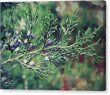 Canvas Print featuring the photograph Winter Berries by Robin Dickinson