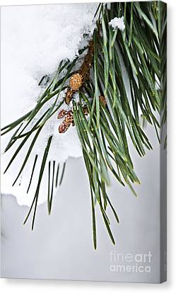 Pine Needles Canvas Print - Winter Branches by Elena Elisseeva