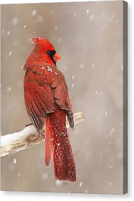 Winter Cardinal  Canvas Print by Mircea Costina Photography