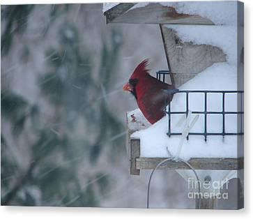 Winter Cardinal Canvas Print by Ronald Tseng