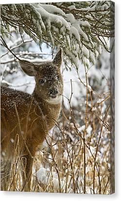 Winter Dining For A Black-tailed Deer Canvas Print