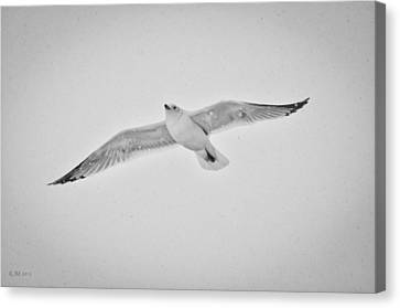 Canvas Print featuring the photograph Winter Gull by Kevin Munro