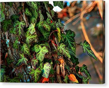 Canvas Print featuring the photograph Winter Ivy by Mike Flynn