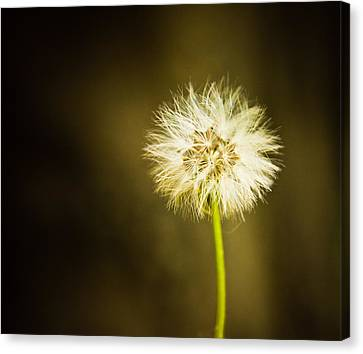 Wishes Canvas Print by Sara Frank