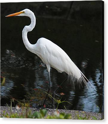 Wispy Feathers Of A White Heron Canvas Print by Becky Lodes