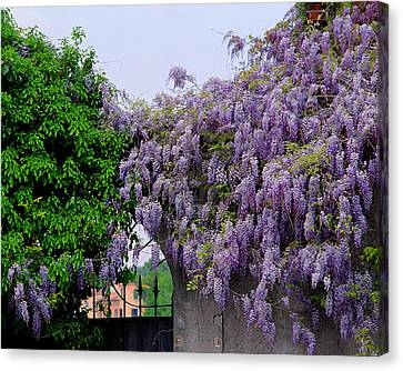 Wisteria In Bloom Canvas Print - Wisteria And Gate In Verona Italy by Greg Matchick