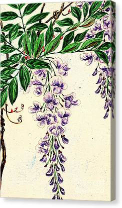 Wisteria Vine Blooms 1870 Canvas Print by Padre Art