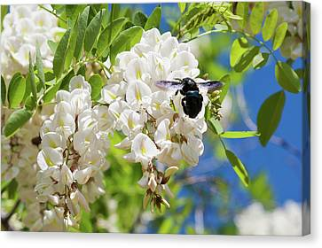 Wisteria With June Bug Canvas Print