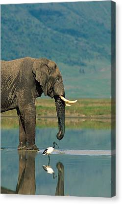 With A Sacred Ibis Threskiornis Canvas Print by Beverly Joubert